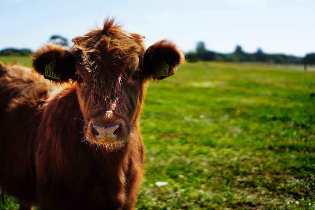 Image of a very cute highland calve in a green field